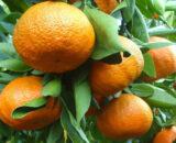 clementine NOVA BIO